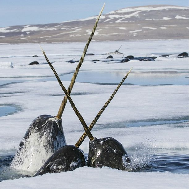 how to draw a real narwhal