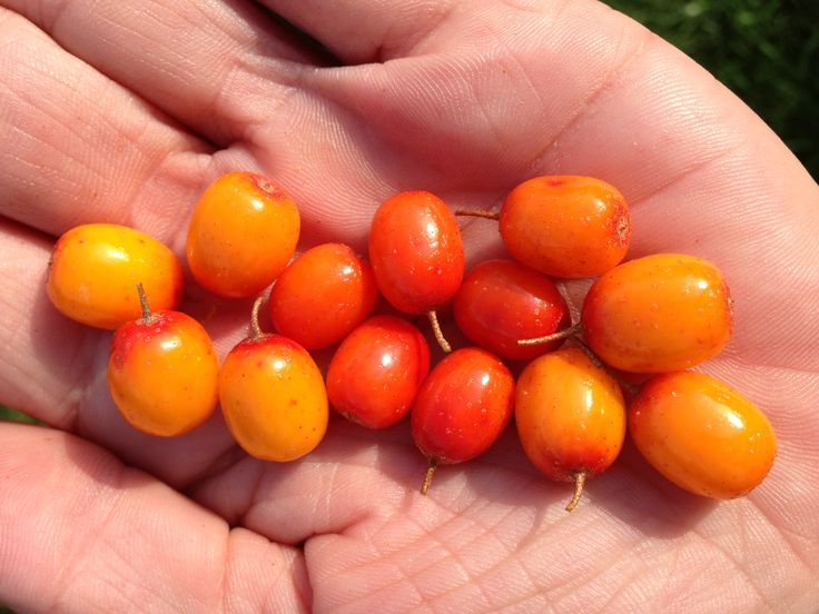 Fresh Sea buckthorn berries from our 2014 harvest.  With 190 bio active nutrients, a palm full of these tart little berries WILL keep the doctor away.