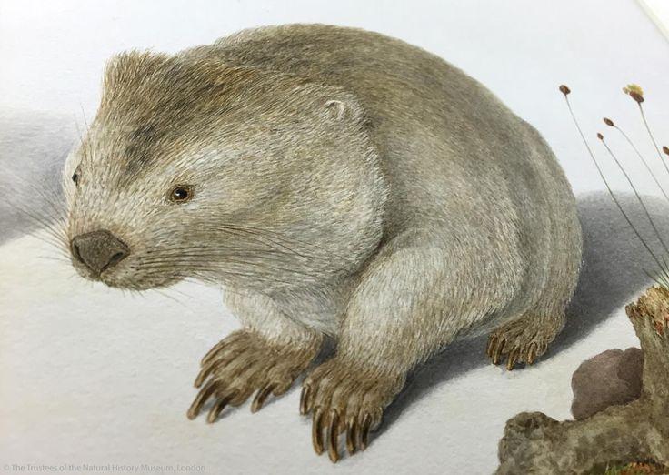 Wombat by Ferdinand Bauer, ca. 1802