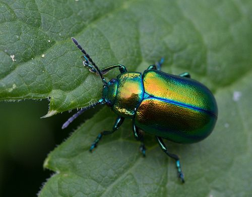 Walking Little Gem (Anne Mirdl) One of the alpine leaf beetles, Oreina sp. Fellhorn, Allgäuer Alpen, Bavaria, Germany.