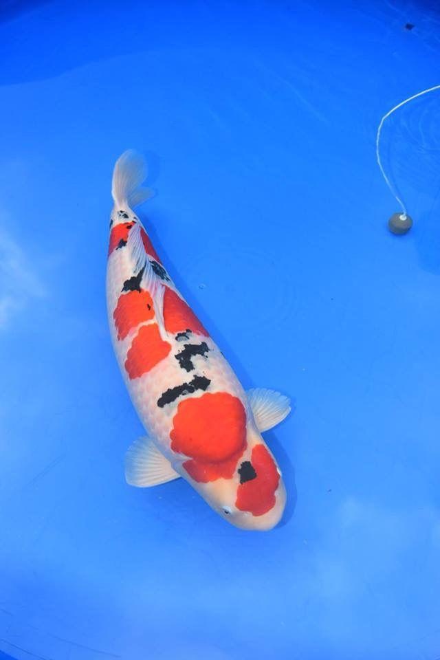 Sakai Fish Farm Sanke Ikan