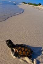Sea Turtle Facts for Scuba Divers: A Hawksbill turtle hatchling makes its way to the sea. Only about 1 in 1000 sea turtle hatchlings survive to maturity.
