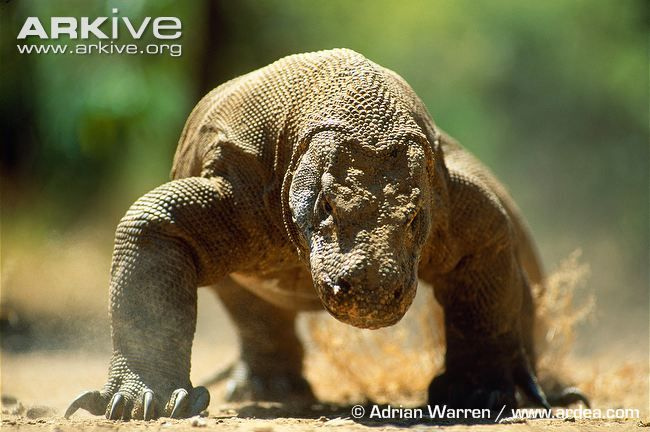 The Komodo dragon is the largest lizard in the world.Adult Komodo dragons can kill prey as large as deer and water buffalo, and this species...
