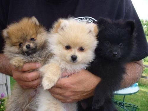 Pomeranians are one of my favorite breeds of dog, right after,my dogs and mutts.......