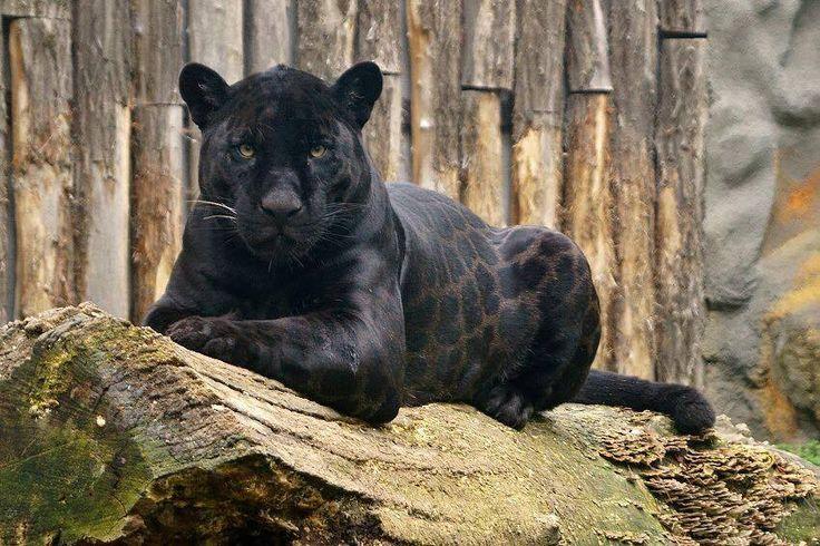 Black Jaguar, Perry / Черный Ягуар, Перри Jaguar noir / Černý jaguár
