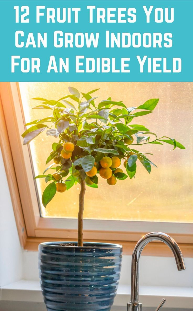 12 Fruit Trees You Can Grow Indoors For An Edible Yield In 400 x 300