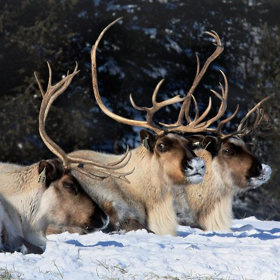 Dasher, Dancer and Prancer, Santa Claus' Reindeers
