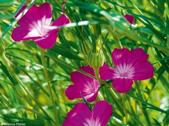 Les 25 meilleures id es de la cat gorie fleurs bisannuelles sur pinterest plantes annuelles - Plantes qui ne craignent pas le gel ...