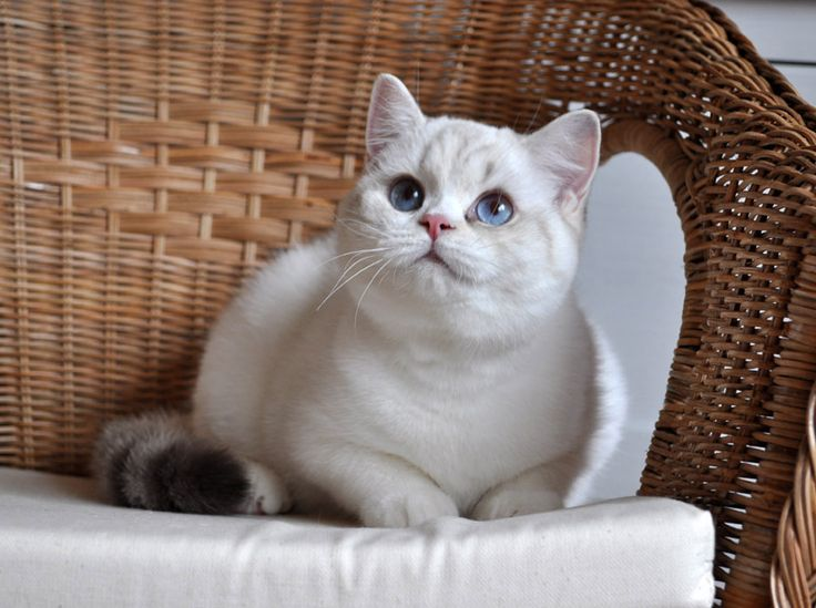 British Shorthair silver tortoise colorpoint with white