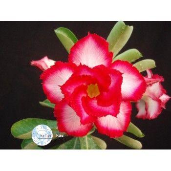 "Rosa-do-deserto ""Touching Heart"" (Adenium obesum)"