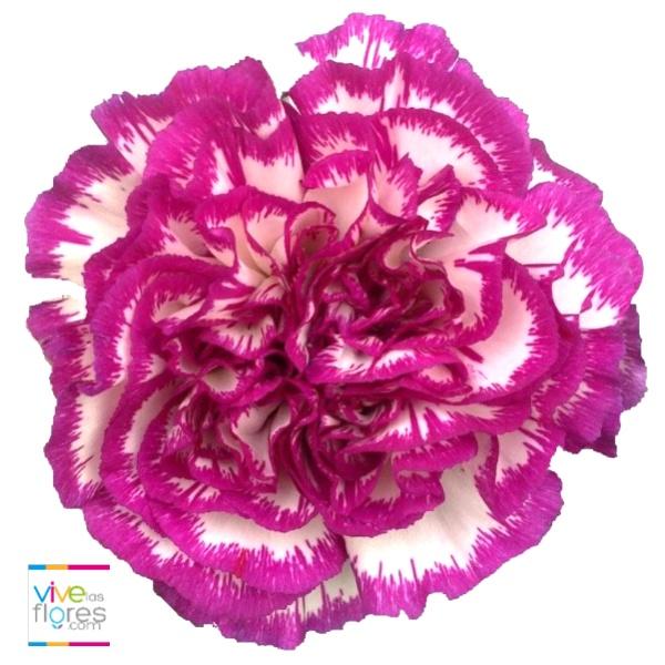 El clavel bicolor púrpura denota modestia e ilusión. Disponible en Vivelasflores.com