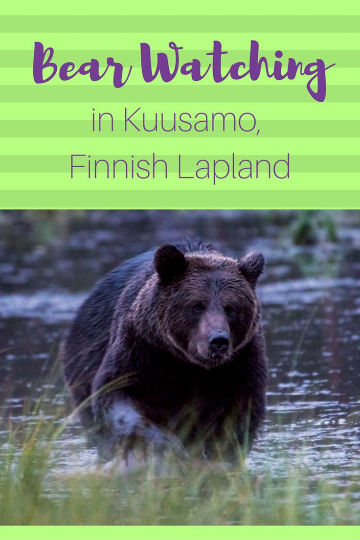 Bear watching in Kuusamo, Finnish Lapland! One of he top experiences with wildlife we've had for a long time!