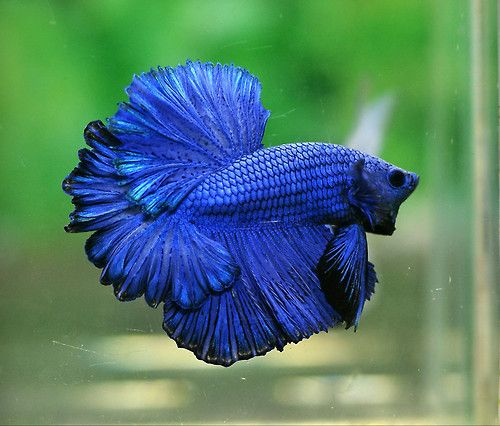 50 best feather tail bettas images on pinterest betta for Giant betta fish for sale