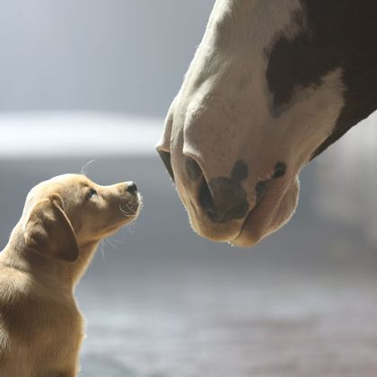 """Anheuser-Busch's 2014 Super Bowl commercial entitled """"Puppy Love."""" The ad will run in the fourth quarter of the game."""