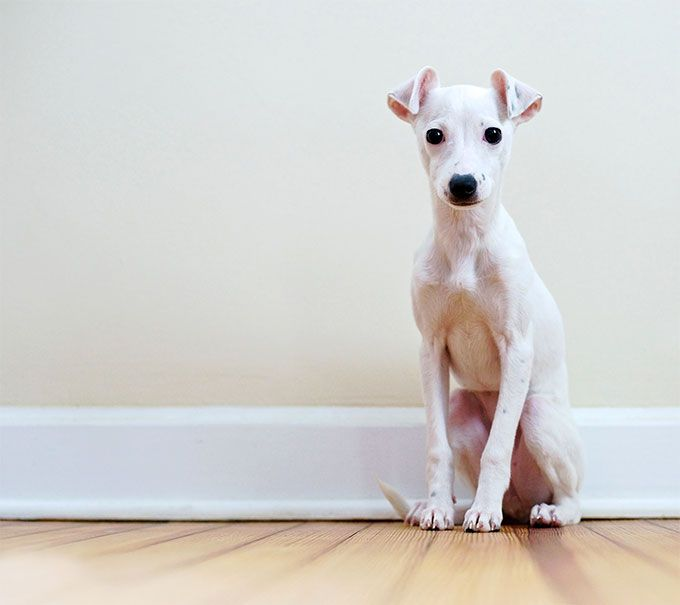 Italian Greyhound information including pictures, training, behavior, and care of Italian Greyhounds and dog breed mixes.