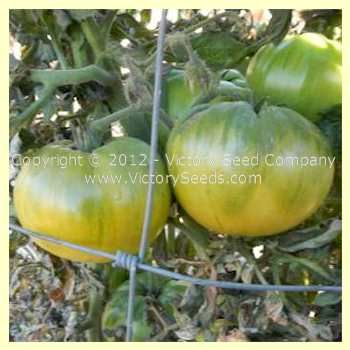 50 Best Images About Dwarf Tomaten On Pinterest Tomato 640 x 480