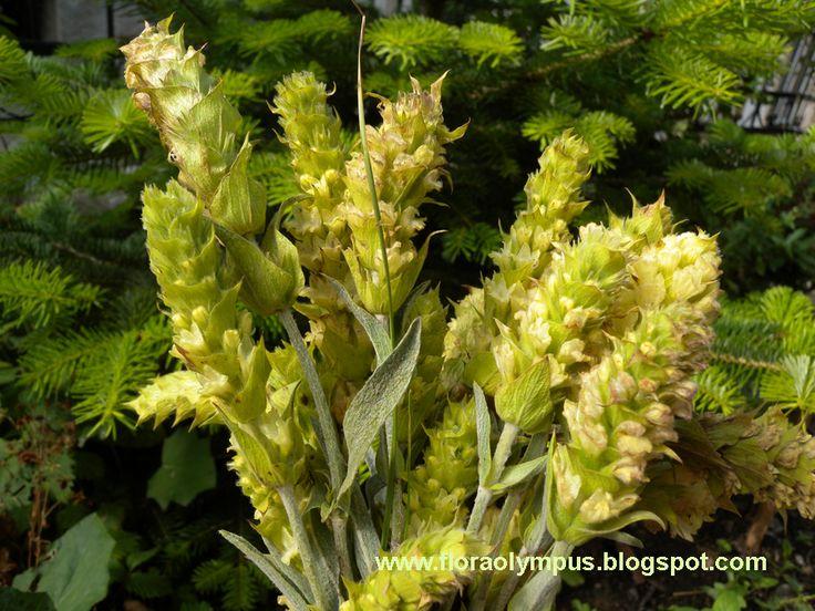Σιδερίτις (Τσάι του βουνού)- Sideritis scardica  Griseb.      Το γένος siderites περιλαμβάνει πολλά ποώδη πολυετή φυτά με πιο γνωστό σε όλ...