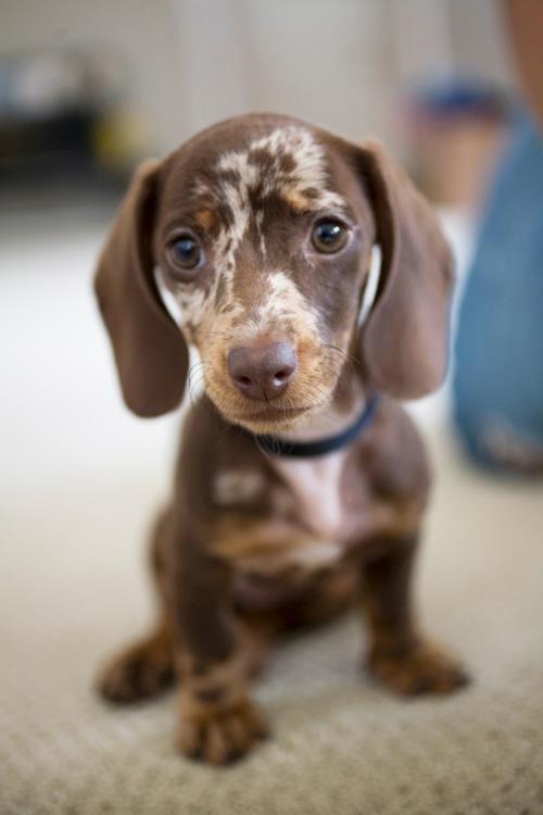 Chocolate Merle #Dachshund #Dogs #Puppy