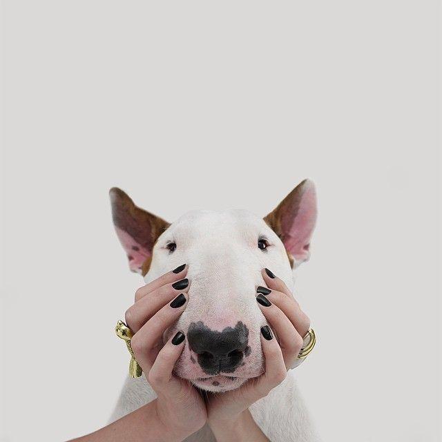 Bull Terrier ... atrapado !!! ... ja!