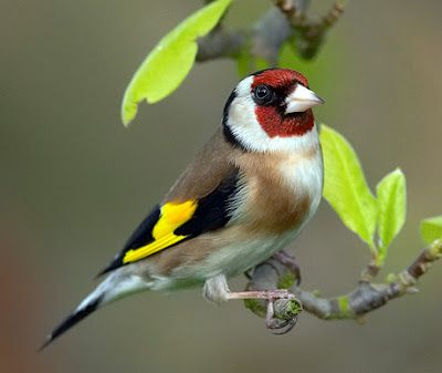 European Goldfinch, Europe, North Africa and Asia