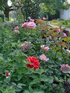 Aranyalma: Végre kinyíltak a rózsák  Roses