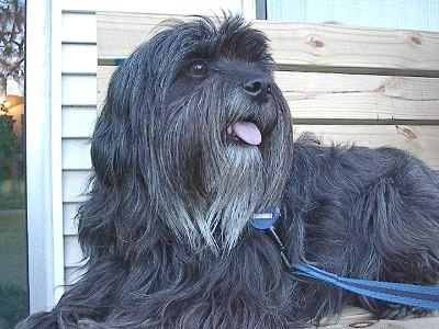 Tibetan TerrierTibetan Terriers Puppies, Dogs Breeds, Animal Ii, Animal Luver, Terriers Pets, Dogs Lovers, Potential Pets, Dogs Life, Art Tibetan