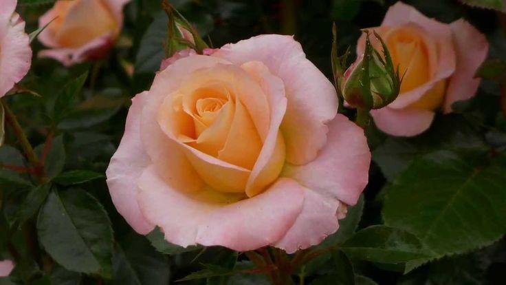 ERNESTO CORTAZAR - BETWEEN THORNS AND ROSES - BEAUTIFUL ROSE GARDENS