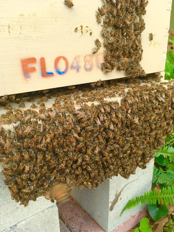 "Bee ""bearding"" occurs in hot months when colonies hang around outside the hive/nest to reduce heat and provide better ventilation for brood comb inside. - 7-'17, P. Treadwell"