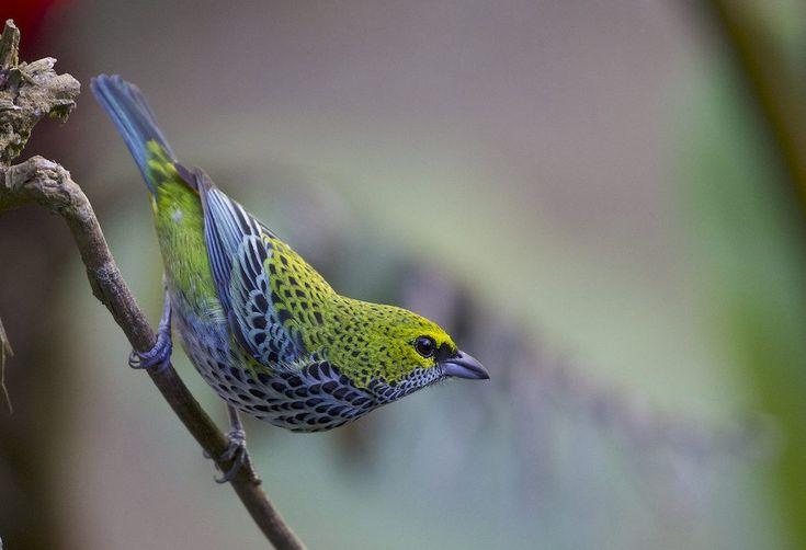 10 schönsten Vögel in Costa Rica   – Nature