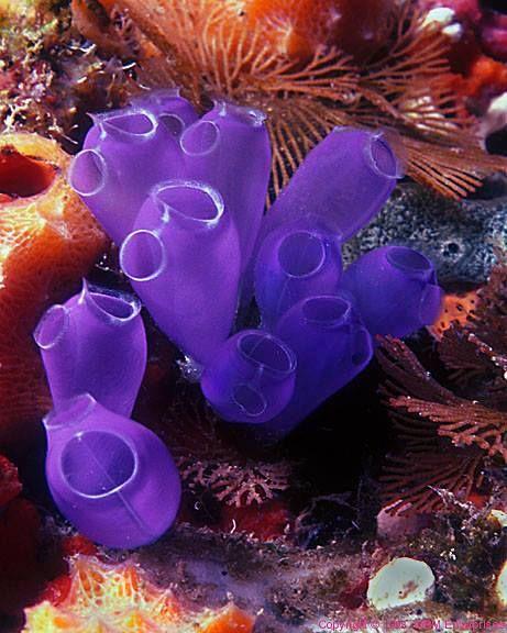 Tunicate Seeschlärm