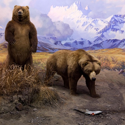 """The Alaska brown bear and salmon, as seen in the Bernard Family Hall of North American Mammals, are commonly identified as """"keystone species,"""" organisms that have a disproportionately large effect on the surrounding habitat: take the top out, and like a stone archway, the whole thing falls apart."""