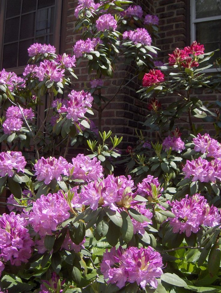 The rhododendron is one of the most eyecatching shrubs in the home landscape. Being popular shrubs, the topic of how to trim a rhododendron bush is a frequently asked question. Find pruning tips in this article.