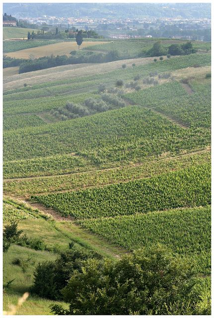 Cerreto Guidi (Fi)   Viñedos en la Toscana   buen Chianti!!!