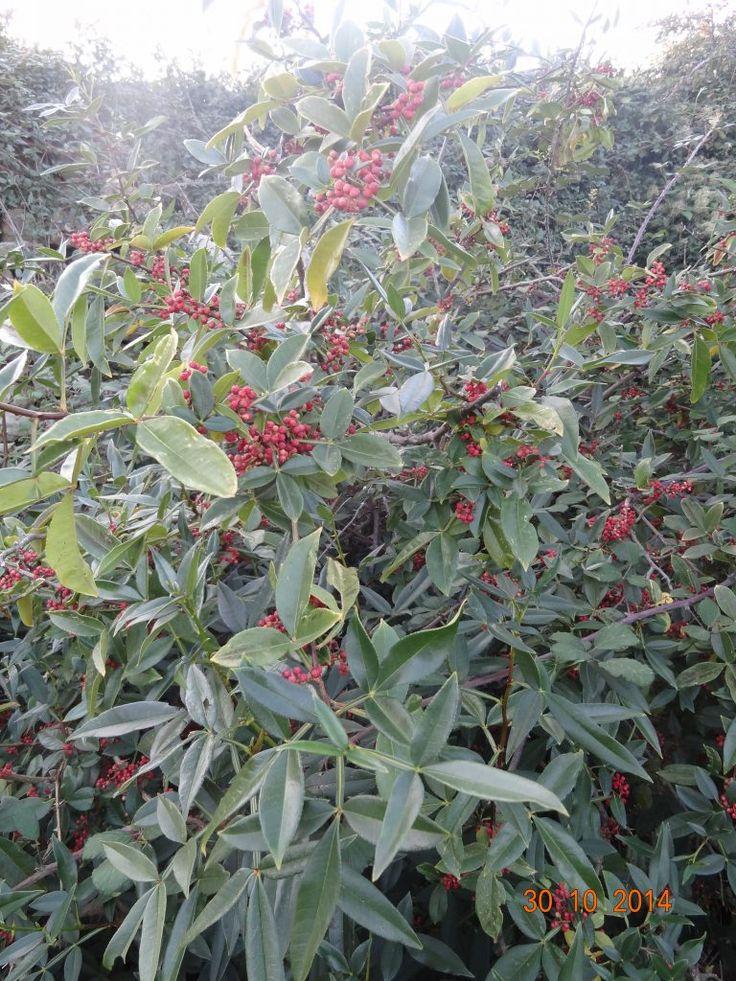Zanthoxylum armatum Poivre citron pépinière du bosc