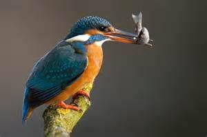 kingfisher - Resultados Yahoo Search da busca de imagens