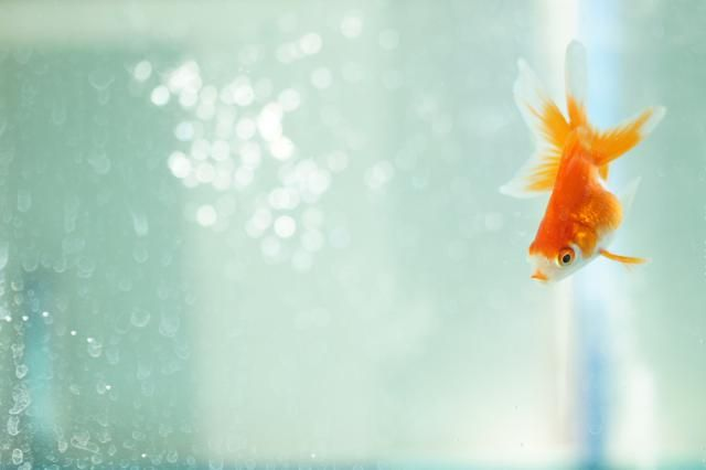 Find out whether your goldfish will turn white if you leave it in the dark long enough and how fish food affects color.