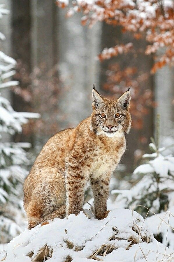 Lynx in winter snow forest..