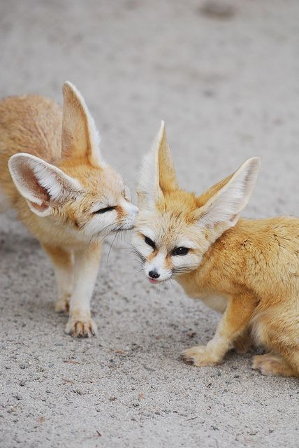 missembolism: animalgazing: Fennec fox by floridapfe on Flickr. *kiss* :P Cute.