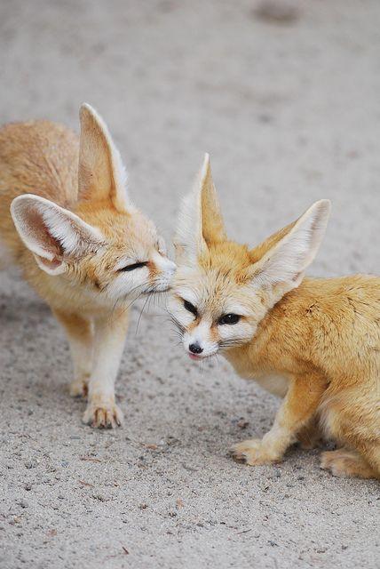 Fennec Foxes. #animal #fauna