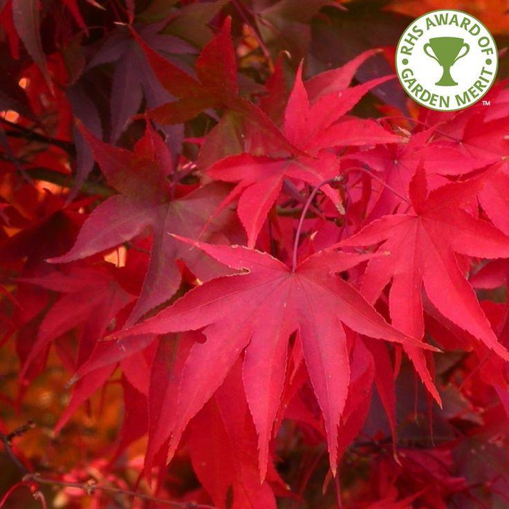 Acer Palmatum Osakazuki | Japanese Maple Tree | Buy Dwarf Maple Tree