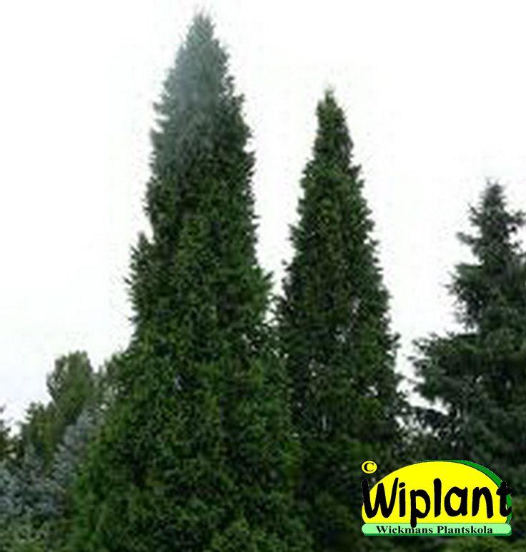 Picea abies 'Cupressina', Pelargran. Upprättväxande tät sort. Höjd: 2-4 m.