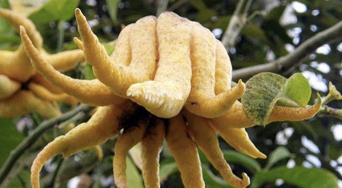 LIMONE MANO DI BUDDHA cedro-mano-di-buddha-frutta-strana Il nome proviene ovviamente dalla sua forma tentacolare, ma questo frutto peculiare non è altro che una varietà di cedro che cresce su alberi di piccole dimensioni in Cina, Giappone e India. Un profumo leggermente agrumato e alcuni usano anche la sua buccia, che viene candita. Frutto curioso che oltre in Asia potete trovare ormai anche in USA.