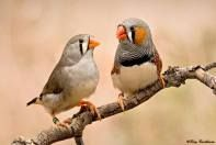 Best 25 Zebra Finch Ideas On Pinterest Cute Birds Pretty Birds And Exotic Birds