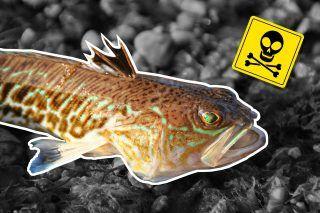 Giftige Petermännchen richtig versorgen | How to handle the poisonous weever fish