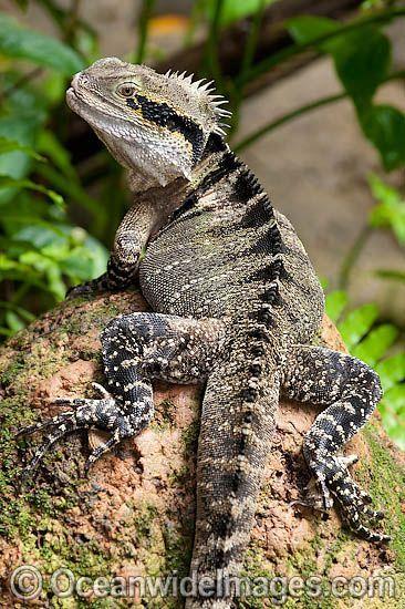 Australian Water Dragon: Australian Water Dragon (Physignathus Lesueurii). Also