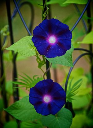 5 Great Flowering Vines For Containers: Morning Glory
