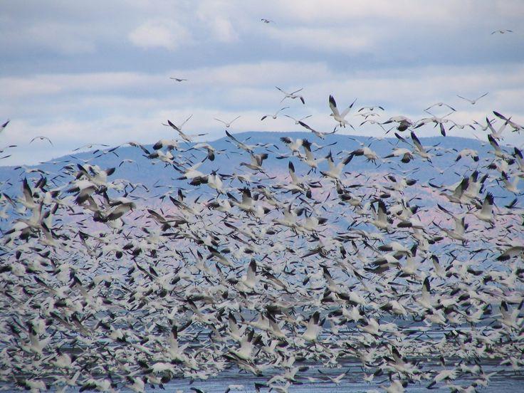 Migration des oies blanches #oies