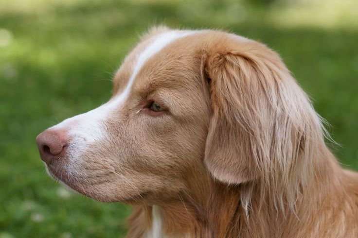 Such a beautiful and wise face on this Duck Toller