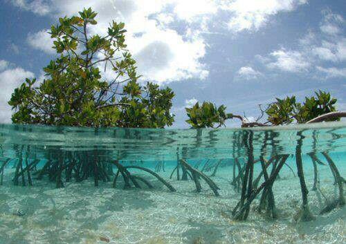 key+west+florida+mangrove | Mangroves, Florida Keys.