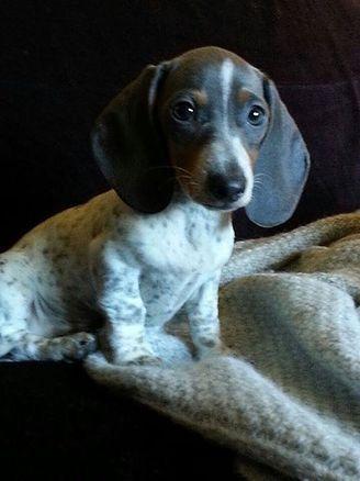 Miniature #dachshund puppies | Dapple & Piebald dachshunds | winnipeg